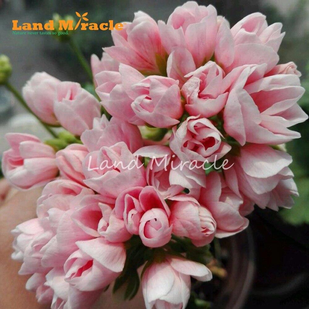Land Miracle Geranium Peach Pink Ball Flower Seeds 5 Seeds Bonsai