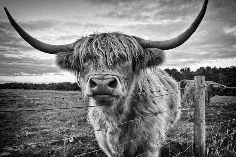 DIY frame Scottish Highland cattle Kyloe Animal Poster