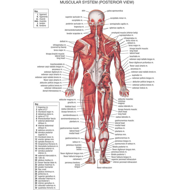 J0866 Human Body Structure Anatomy Chart Pop 14x21 24x36 Inches Silk