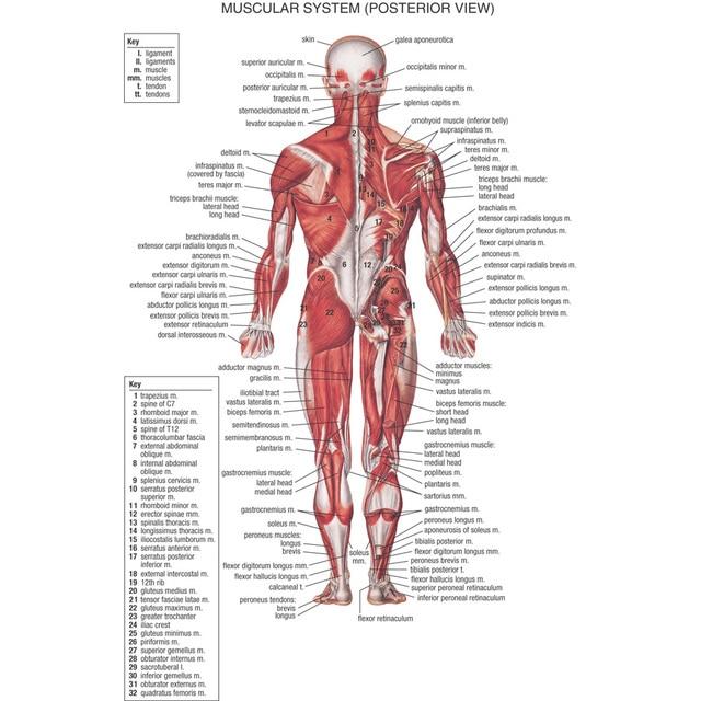 J0866 Human Body Structure Anatomy Chart Pop 14x21 24x36 Inches Silk ...