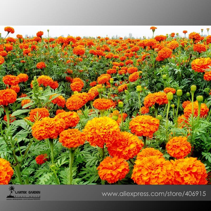Aliexpress.Com : Buy Mixed Chrysanthemum Seeds Perennial Flowering