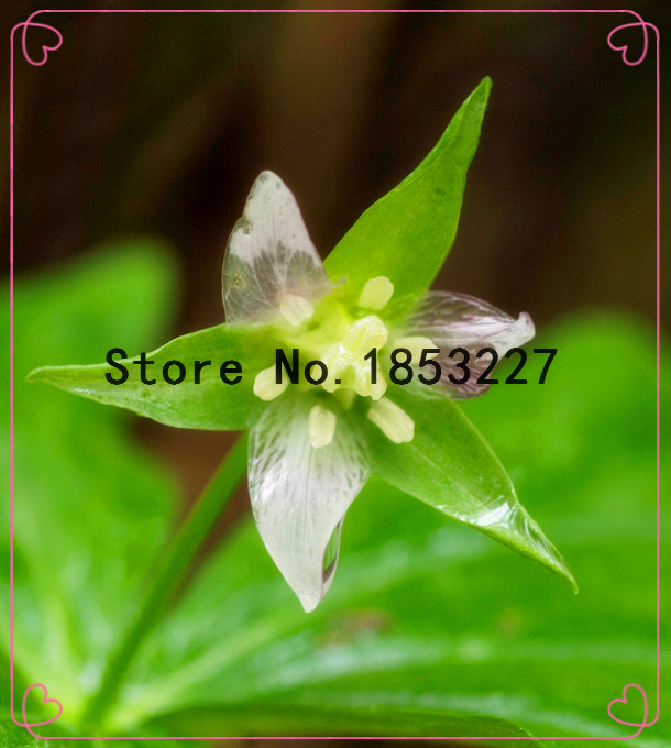 Ggg ggg rare yellow trillium seeds packet trillium luteum fresh ggg ggg rare yellow trillium seeds packet trillium luteum fresh seeds scented yellow flower trillium 50pcsbag seeds in bonsai from home garden on mightylinksfo