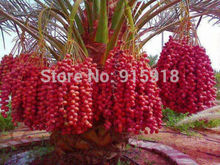 Sweet delicious Red Date palm live seeds 10 Pcs Seeds(China)