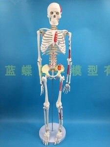 Image 4 - 85 سنتيمتر قالب هيكل عظمي نموذج الإنسان مع العضلات العمود الفقري نظام العصب التدريس الطبي معدات تعليمية هيكل عظمي نموذج تشريح