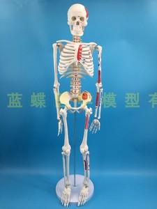 Image 4 - 85cm İskelet modeli insan modeli kas omurga sinir sistemi tıbbi öğretim eğitim ekipmanları İskelet anatomisi modeli