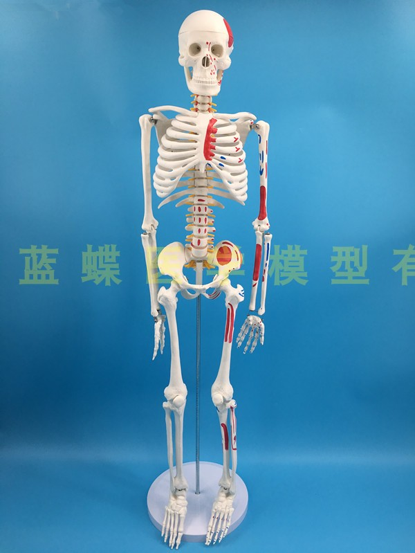 Image 4 - 85cm skeleton model human model with muscle spine nerve system 