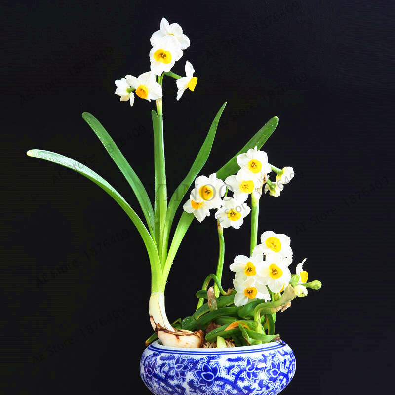 110 pcs hot sale white daffodils beautiful bonsai daffodil flower 110 pcs hot sale white daffodils beautiful bonsai daffodil flower seeds clean air narcissus seeds flowers for rooms in bonsai from home garden on mightylinksfo