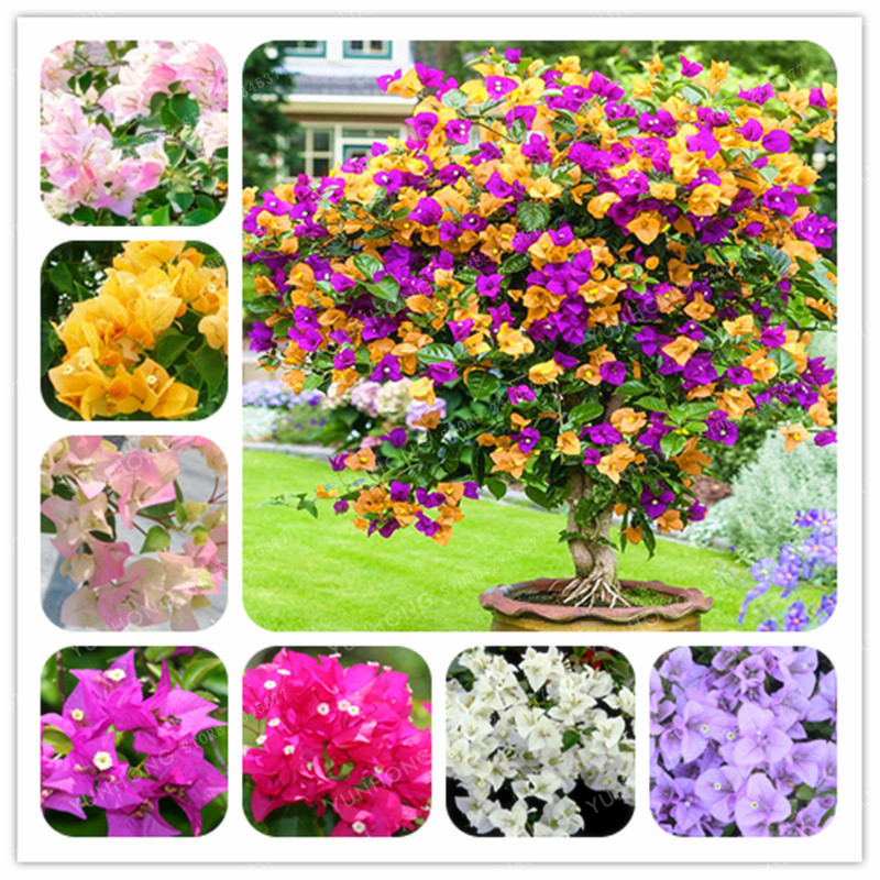 Bonsai Beautiful 100pcs Rare Coleus Plants Beautiful Rainbow Coleus Garden Flowers High Survival Rate Bonsai Tree Garden Decoration We Have Won Praise From Customers