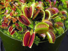 50 PCS / Pack Potted Insectivorous Plant Seeds Dionaea Muscipula Giant Clip Venus Flytrap Seeds Carnivorous Plant Free Shipping