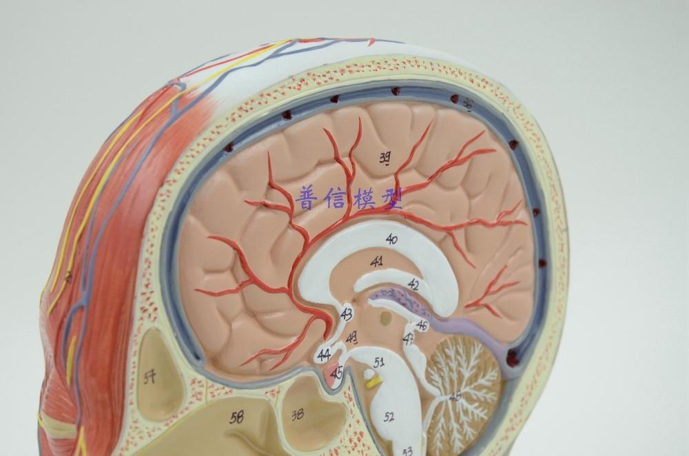 Berühmt Menschlicher Kopf Anatomie Modell Ideen - Anatomie und ...