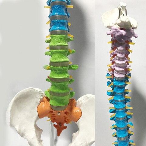 mostrando a estrutura dos orgaos da externas medico 15 humano