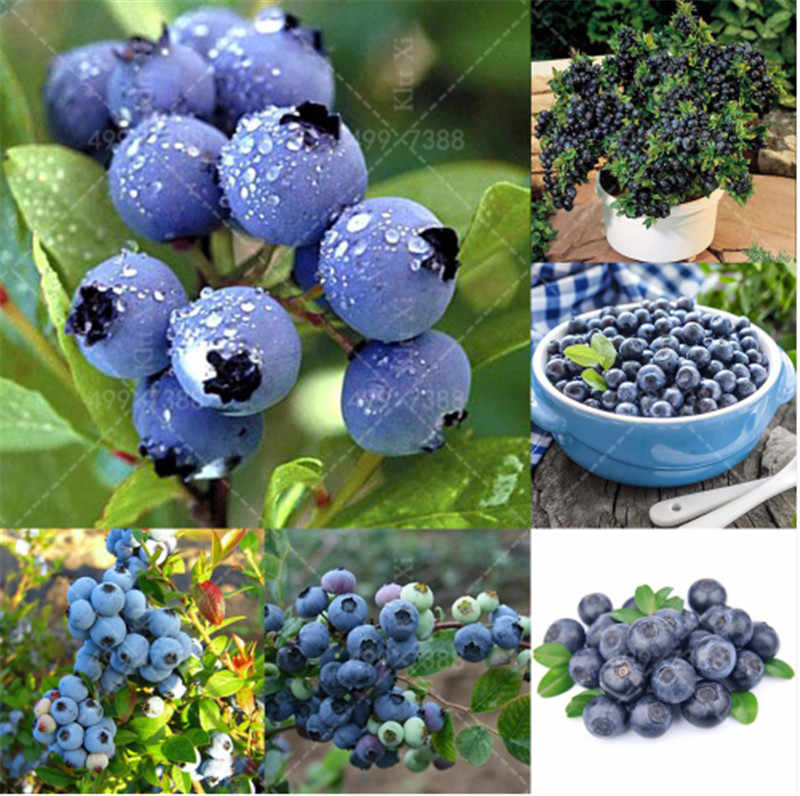 Bonsai 100 pcs/bag American giant blueberry fruit Germination 95%+,rare fruit tree for home garden planting