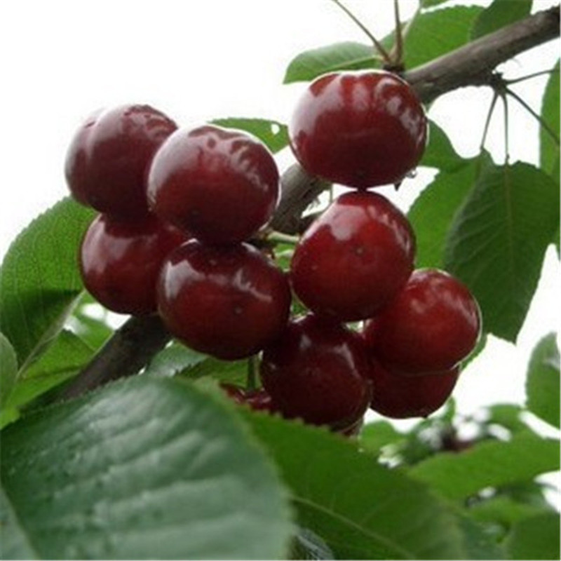 10pcs bonsais Four Seasons potted cherry tree bonsais balcony vegetables fruits Bonsai plant DIY home garden ,Easy to grow(China)