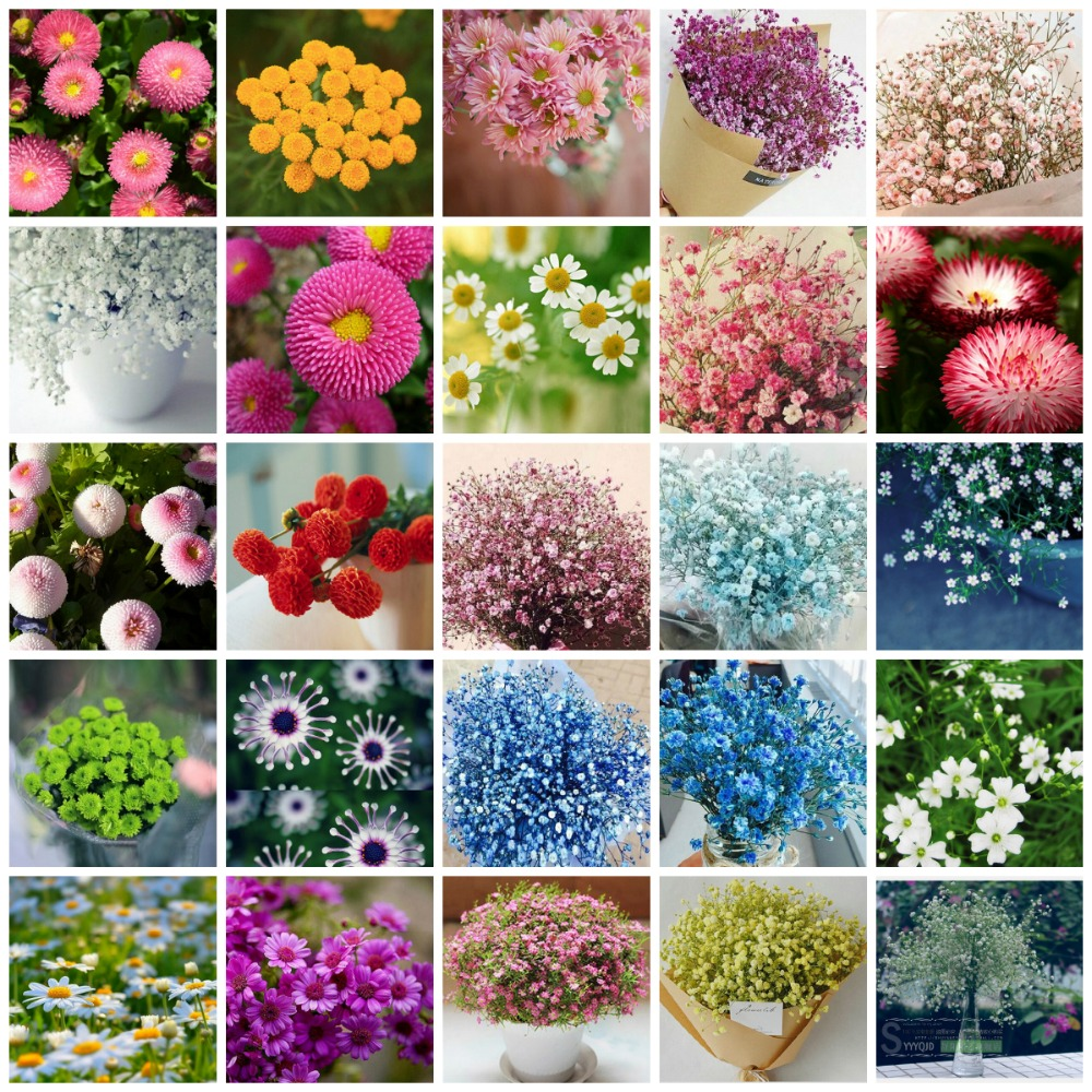 Starry daisy flower seeds free shipping 100 four seasons - Winter flowers for balcony ...