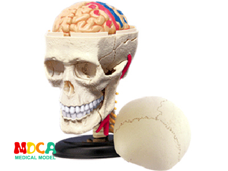 Skull 4d master puzzle Assembling toy human body organ anatomical model medical teaching model organ anatomical model teaching medical human body specimen model human lung anatomical model 4 parts gasencx 0055