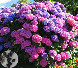 10pcs China Hydrangea Bonsai Flower Plant For Home Garden