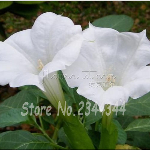 50 white moon flower morning glory imopea purpurea vine flower seeds 50 white moon flower morning glory imopea purpurea vine flower seedsbeautiful mightylinksfo Images