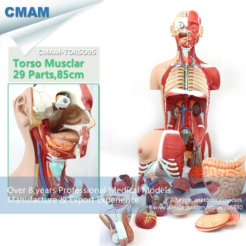 12016 CMAM-TORSO05 Anatomy Dual-Sex Torso Muscle Model - 29 Parts, Medical Science Educational Teaching Anatomical Models 12495 cmam heart20 skeletal muscle fibers anatomical medical science education model
