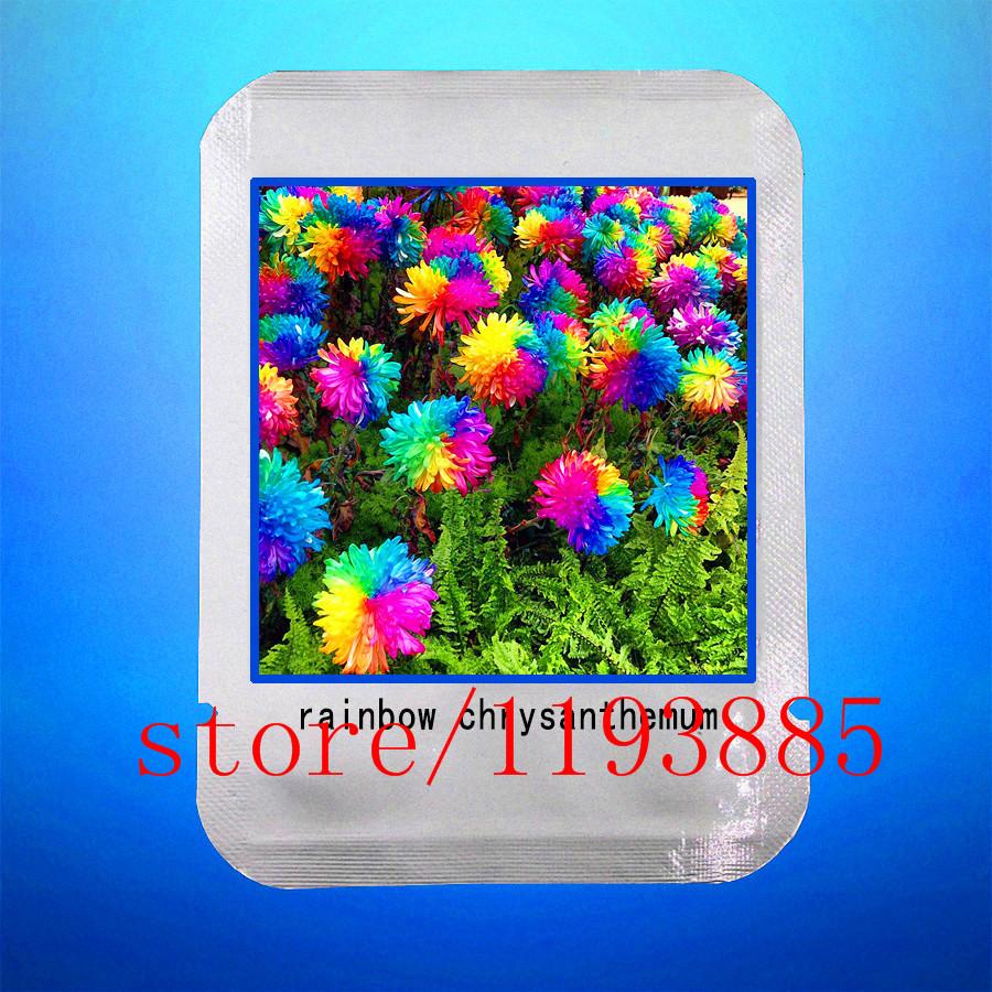 margarita semillas rainbow crisantemo flor rara flores exterior para jardn de diy planta de flor
