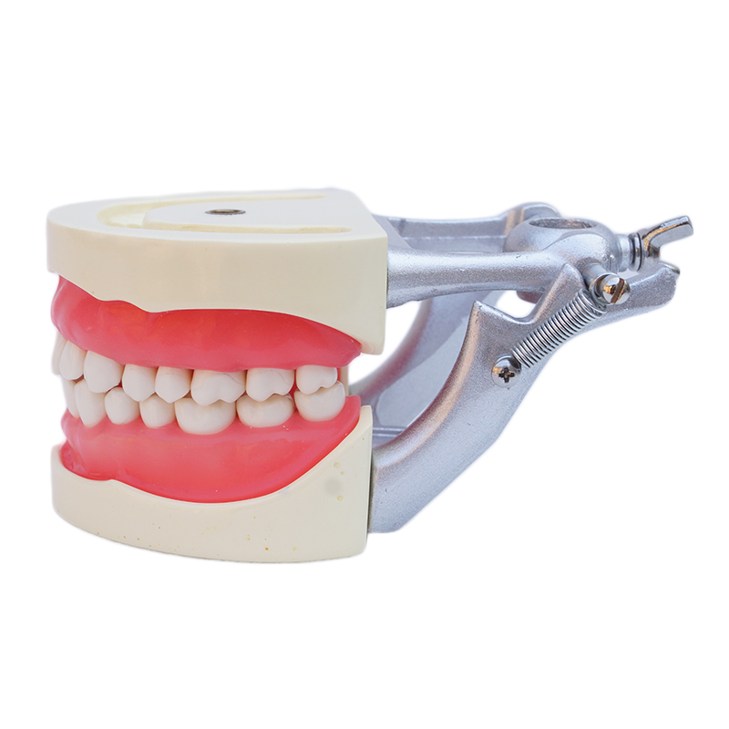 Dental Study Model Standard Dentition Teeth Model with 32 teeth with DP Articulator Soft Gum 1 pcs dental standard teeth model teach study