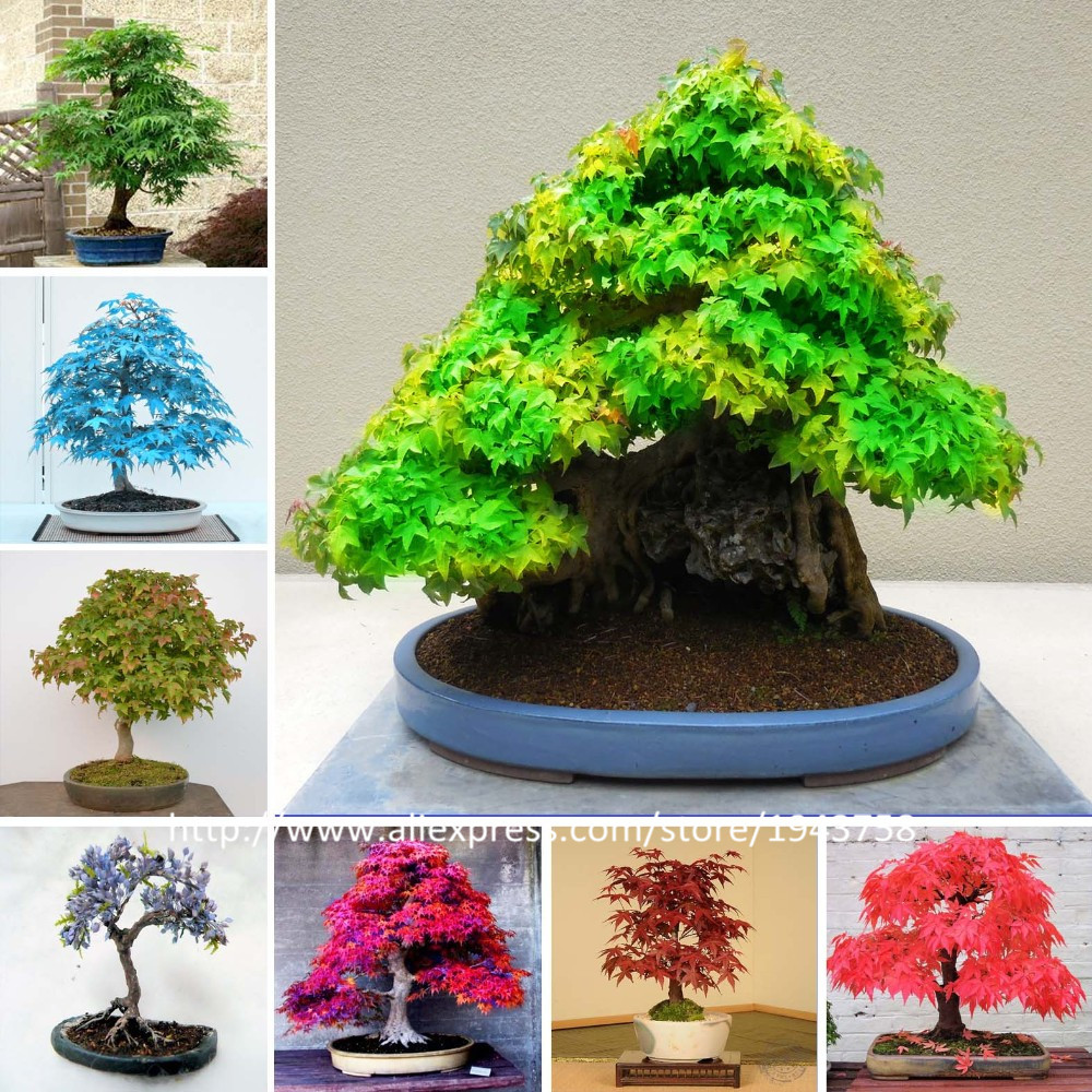 50 Pcs -8 kinds Rare Japanese Maple Seeds, Bonsai Tree Seeds, suit for DIY Home Garden, Free Shipping