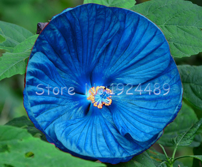 hibiscus bleu-achetez des lots à petit prix hibiscus bleu en