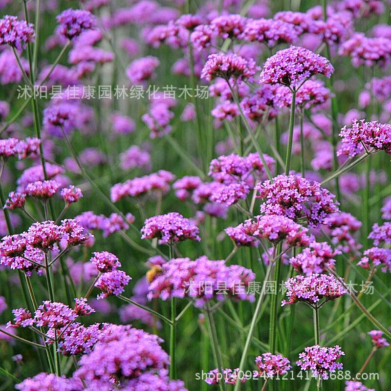 Flower bonsai imported plant purple verbena top agrimony wild Nepeta withdraw blood grass plant Location Filming 200g / Pack