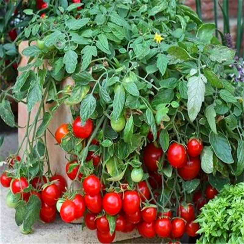 The Worlds Smallest Tomato Seeds Mini Potted Bonsai Balcony Fruit Vegetables Plants For Home Garden 100 Pack In From On