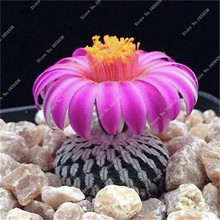 50 Pcs a Bag Cactos Raros Semente De Flores, Exotic Seeds Desk Plant Pot ,Plantas Suculenta Home Garden Decoration 2016 New
