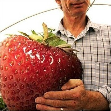 product Hot selling 100 Seeds / Pack Super Giant Strawberry Fruit Seed Apple Sized