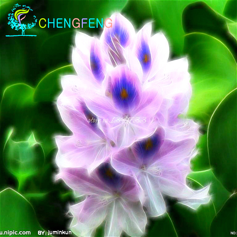 100 Phoenix Lotus Seeds Rare Hyacinth Flower Seeds Garden Cheap Perfume  Potted Plants Mixing Different Varieties