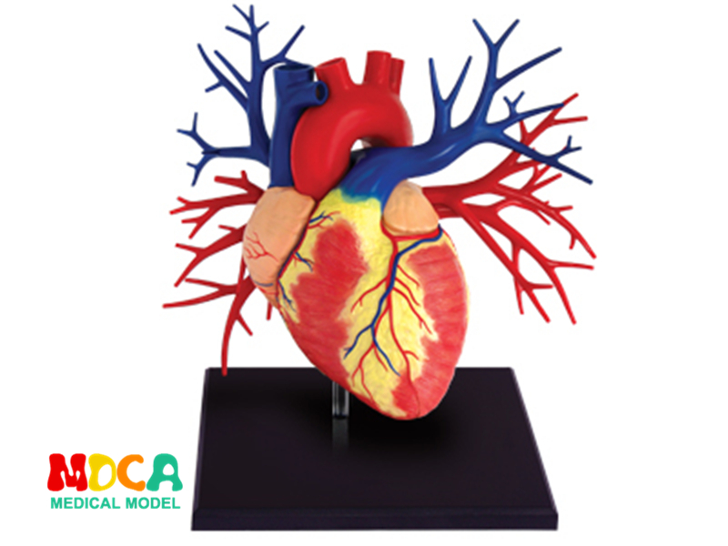 1:1 Heart 4d master puzzle Assembling toy human body organ anatomical model medical teaching model organ anatomical model teaching medical human body specimen model human lung anatomical model 4 parts gasencx 0055