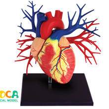 Anatomical Model Puzzle Human-Body-Organ Heart 4d Master 1:1 Assembling-Toy
