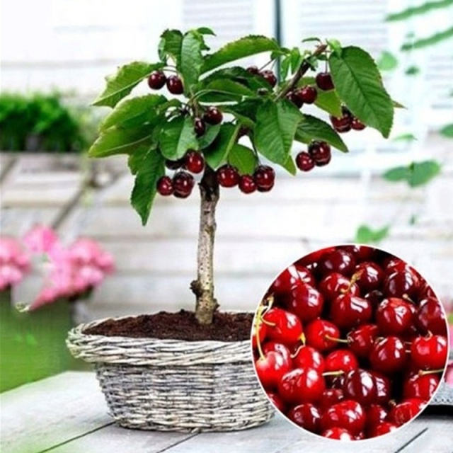 20pcs bonsai Dwarf Cherry tree gaint Asilola Cherry fruit potted plants perennial Cerasus pseudocerasus fruit home garden plant