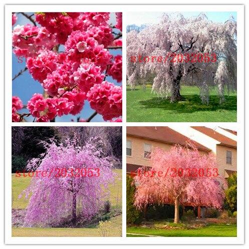 20 sakura seeds fountain weeping cherry tree seeds,japanese bonsai tree seeds for DIY Home Garden Dwarf Tree
