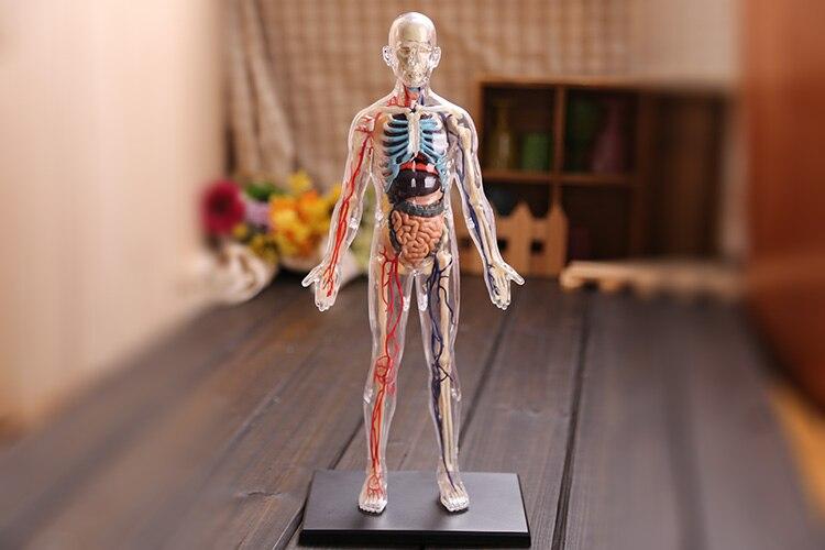 4D Master Assembled Medical Model Human Anatomy Transparent Body Anatomical Model Free Shipping