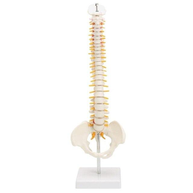 골반 모델 45cm 인간의 척추 인간의 해부학 해부학 해골 용품 및 장비 의료 척추 칼럼 모델
