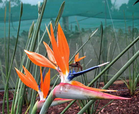 Aliexpress Buy Red Bird Of Paradise Flower Seeds Junces Strelitzia Reginae Rare Flowering Plant Seed 5 From Reliable