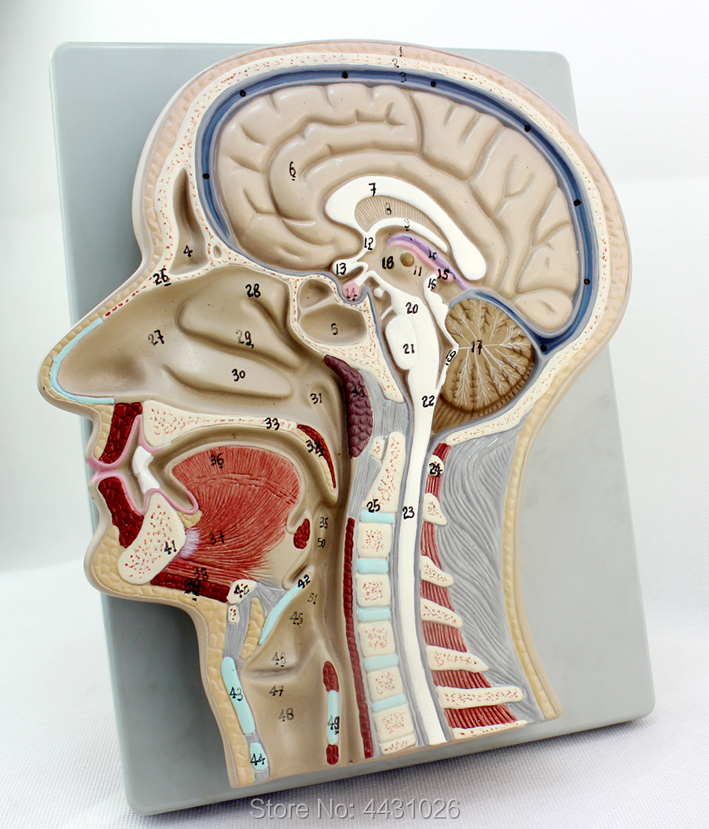 ENOVO The brain model of the brain model of the head section of the human body sagitally section model about tissue decomposition model for doctor patient communication model with magnetic
