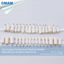 CMAM-DH407 Tooth Anatomy Model Permanent Teeth With Straight Roots