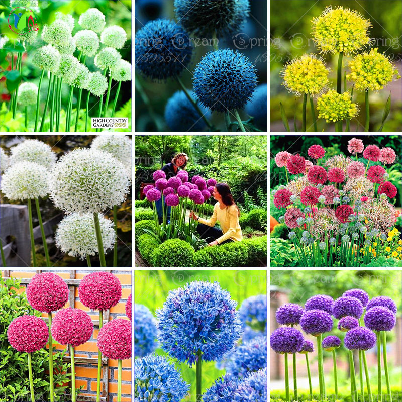100 Purple Giant Allium Giganteum Beautiful Flower Seeds Garden Plant The Budding Rate 95 Rare