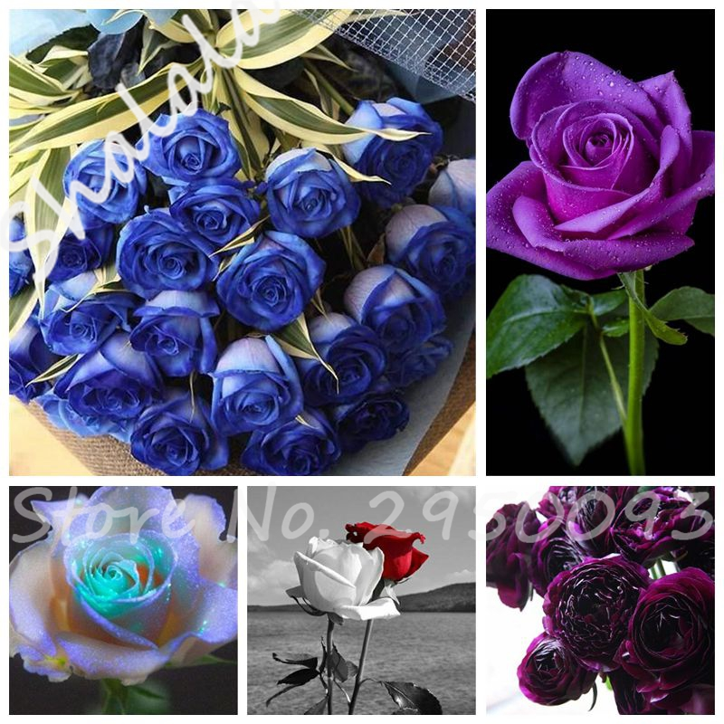 Compare prices on multi colored rose online shopping buy for Multi colored rose bushes