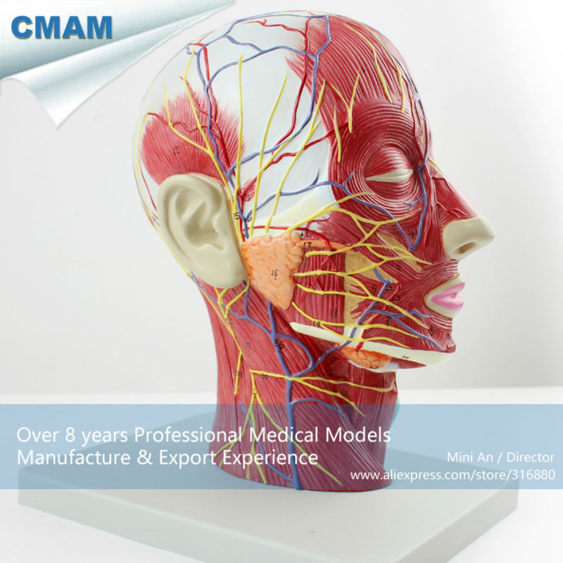 12402 CMAM-BRAIN05 Half of Head Section Model with Vessels,  Full Life Size, Anatomy Models > Brain Models купить дешево онлайн