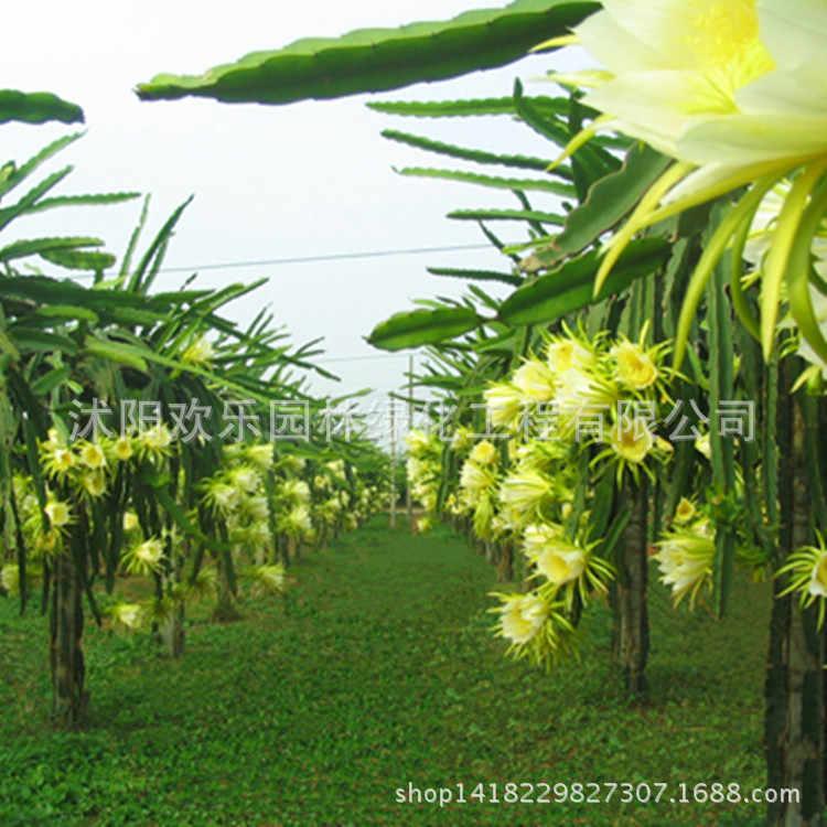 Hainan dragon фрукты, технология бонзаи Cara/dragon/корень в горшке/несколько спецификаций опционально/10 шт./упак.