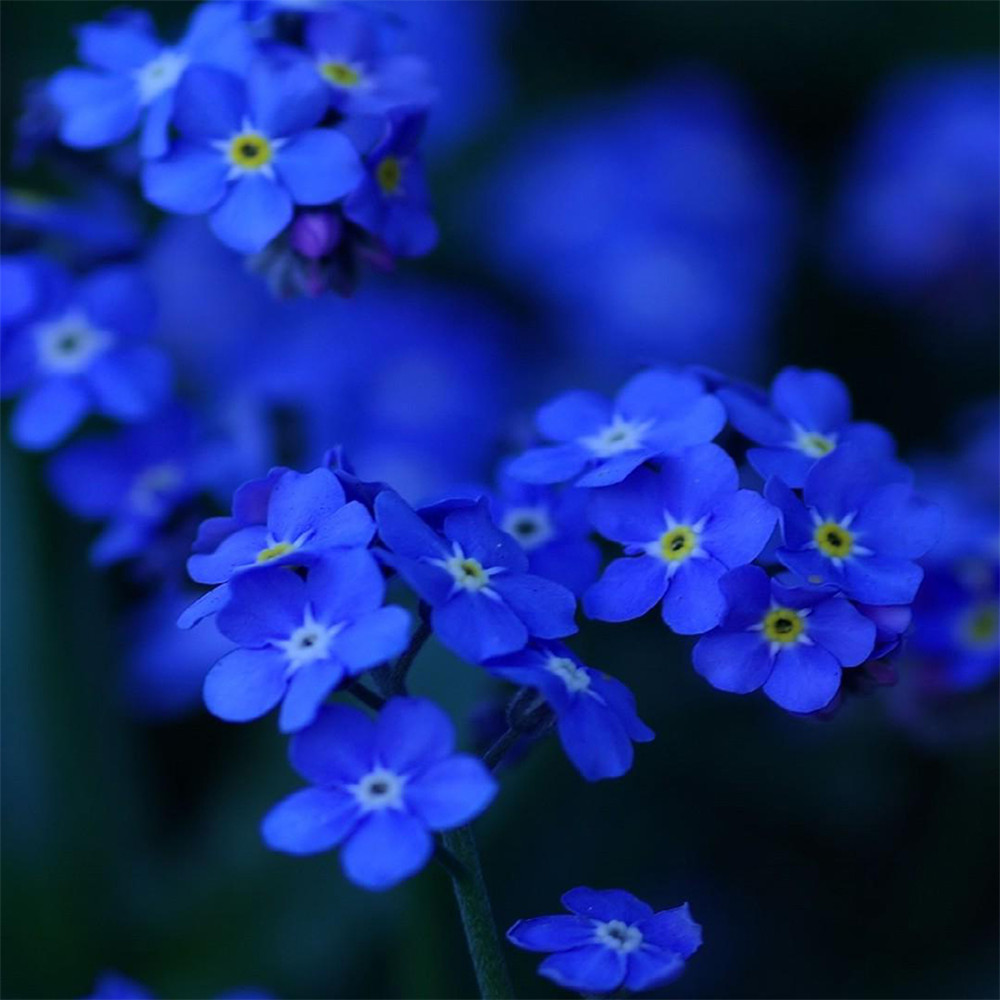 popular primrose blue-buy cheap primrose blue lots from china