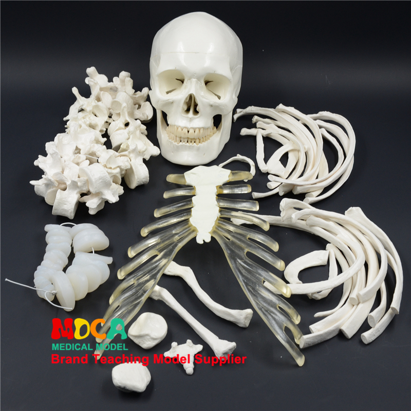 170CM human.skeleton model simulation skeleton Yoga medical teaching MGG306