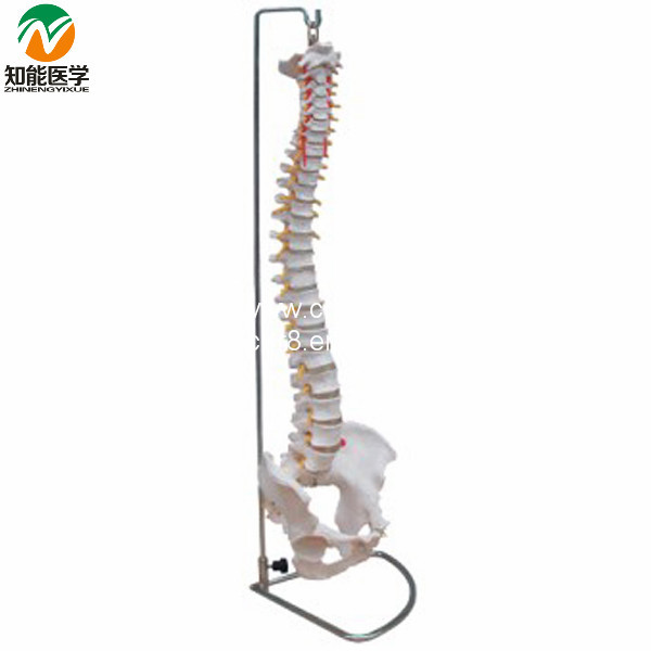 Life-Size Vertebral Column Spine With Pelvis Model BIX-A1009 W051 vertebral column model with pelvis femur heads and sacrum 45cm spine model with intervertebral disc