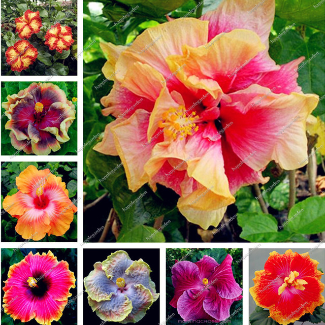 Hot Sale 100 Pcsbag Multifarious Giant Hibiscus Flower Bonsai