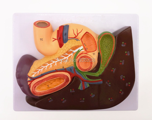 Anatomical Liver with Gall Bladder, Pancreas and Duodenum Model ...