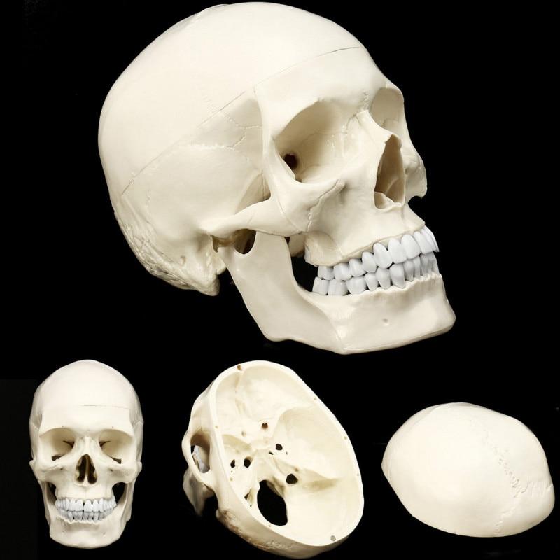 Life Size Human Anatomical Anatomy Resin Head Skeleton Skull Teaching Model School Supplies все цены